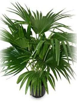 Chinese Fan Palm 3 gal