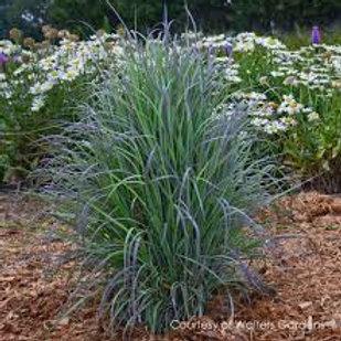 PERENNIAL GRASS SCHIZ TWILIGHT ZONE