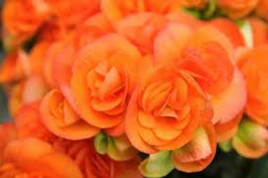 Begonia Non Stop Orange 5INCH POT