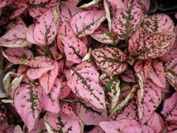 Splash Plant Pink Flat 48 plants