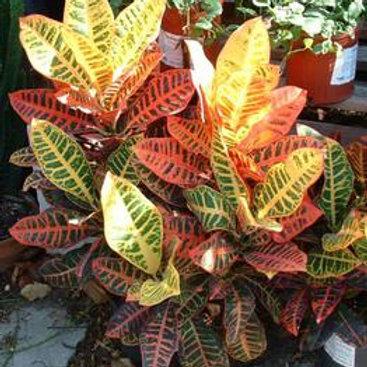 Croton 3g