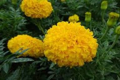 Marigold Antigua Gold Flat 32 plants
