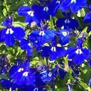 Lobelia Marine Blue Flat 48 plants