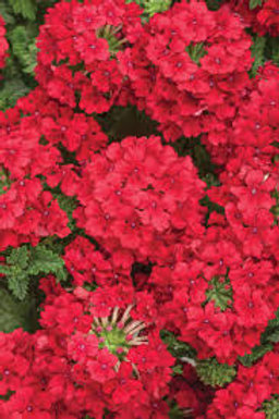 VERBENA SUPERBENA RED