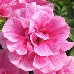 DOUBLE WAVE PETUNIA PINK 8INCH POT