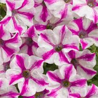Petunia Lovie Dovie 6.5INCH pot