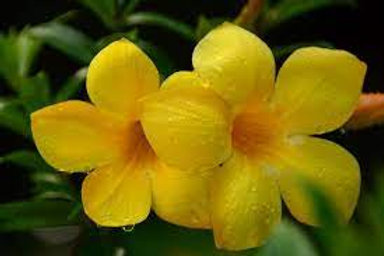 MANDEVILLA YELLOW 10inch pot TRELLISED