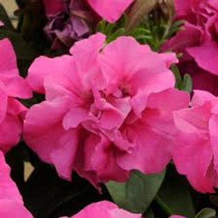 Petunia Madness Rose Flat 32 plants