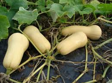 Butternut Squash Single 3 inch pot
