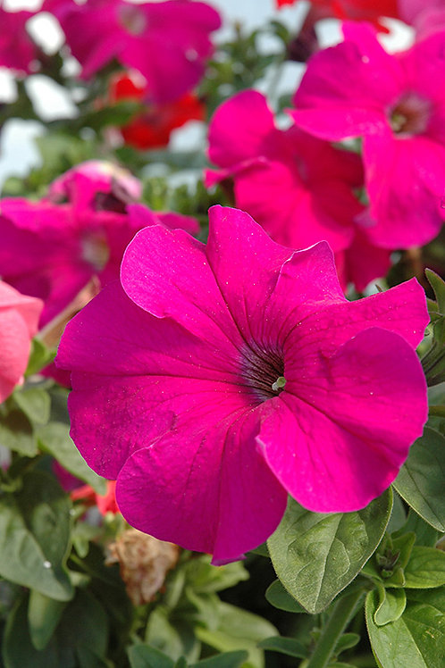 PETUNIA DREAMS BURGUNDY FLAT 32 PLANTS