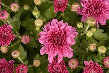 Garden Mum Wanda Lavender 4.5in Bench pot