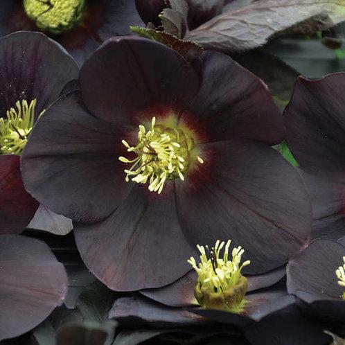Helleborus New York Night-lenten rose
