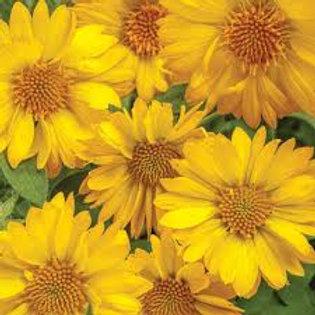 Gaillardia Yellow 4.5in Bench Pot