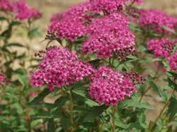 SPIREA NEON FLASH 3G BUSH
