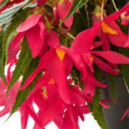 BEGONIA WATERFALLS PINK