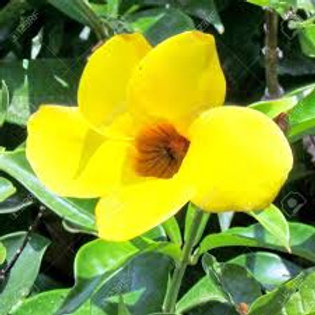 Mandevilla Yellow 1 gal