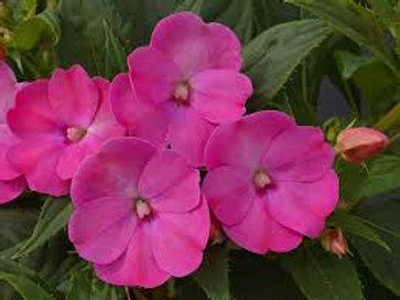Sunpatien Lilac 6 Pack