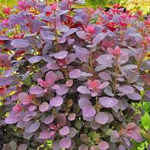 SMOKE BUSH ROYAL PURPLE 3G BUSH