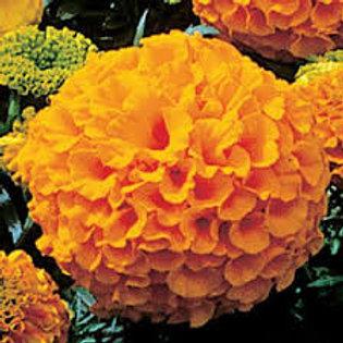 Marigold Anitgua Orange Flat 32 plants