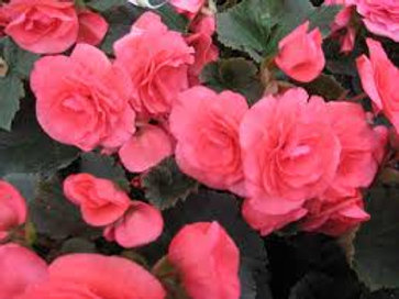 Rieger Begonia Dusty Rose  5INCH pot