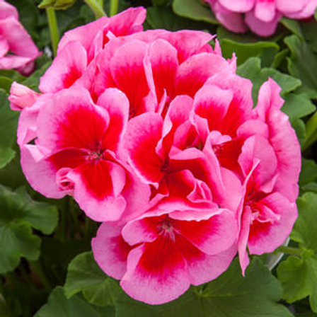 GERNAIUM CALLIOPE ROSE MEGA SPLASH 6.5INCH POT