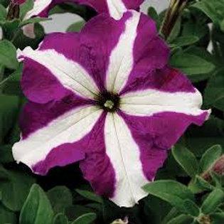 Petunia Tritunia Purple Star Flat 32 Plants
