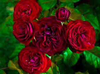 LAVA FLOW ROSE
