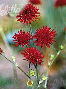 KNAUTIA RED KNIGHT