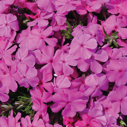 Phlox Drummond's Pink Creeping