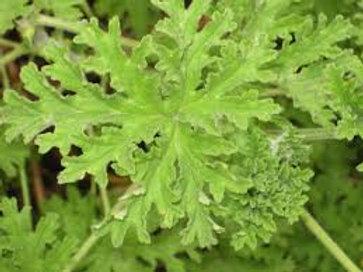 Geranium  Fragans Scented