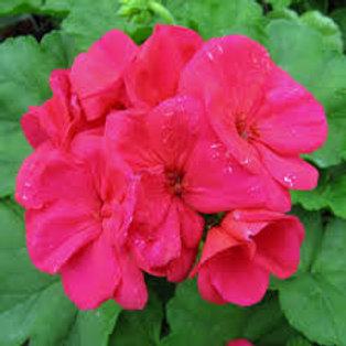 Jumbo Geranium Americana Cherry Rose 6.5INCH pot