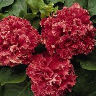Petunia Double Valentine Flat 32 plants