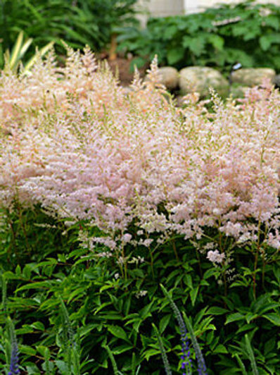 ASTILBE YOUNIQUE SILVERY PINK FALSE SPIREA