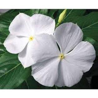 Vinca Cora White Flat 32 plants