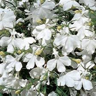 Lobelia White Flat 48 plants