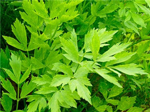 Lovage 4in