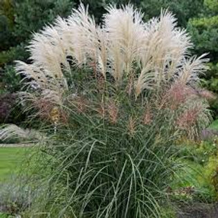 PERENNIAL GRASS MISCANTHUS ENCORE
