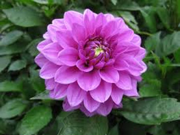 Dahlinova Hypnotica Lavender 6.5in pot