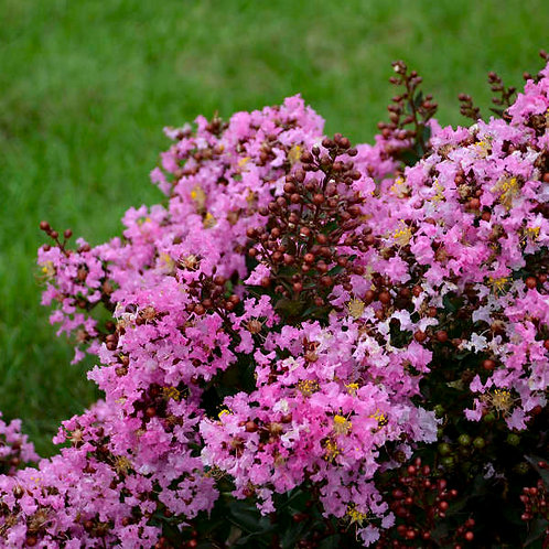 Lagerstroemia Perky Pink-crapemyrtle