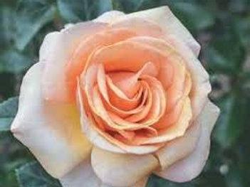 BEAUTIFUL DAY ROSE