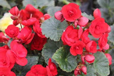 Rieger Begonia Vermillion  5in pot