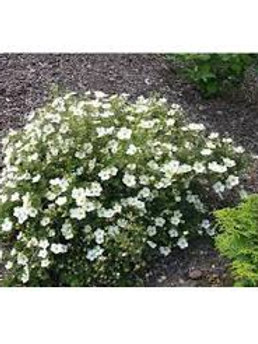POTENTILLA MCKAYS WHITE 3G BUSH
