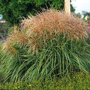 PERENNIAL GRASS MISCANTHUS HURON SUNRISE