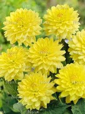 Dahlinova Hypnotica Yellow 6.5in pot