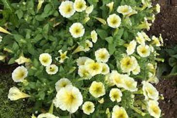 Petunia Easy Wave Yellow 6 pack
