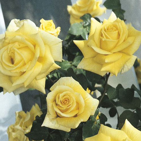 CLIMBING ROYAL GOLD ROSE