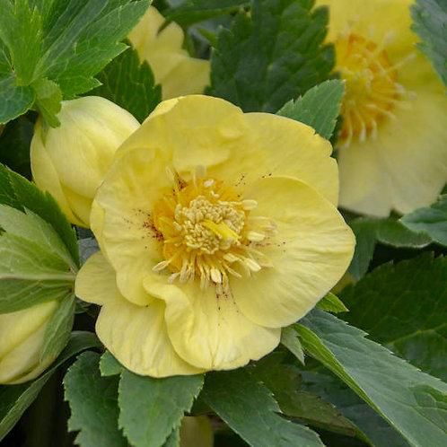 Helleborus California Dreaming-lenten rose