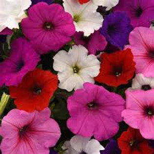 Petunia Easy Wave Mix 6 pack