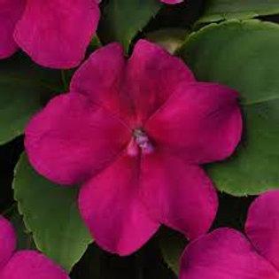 Impatiens Beacon Violet Flat 32 plants