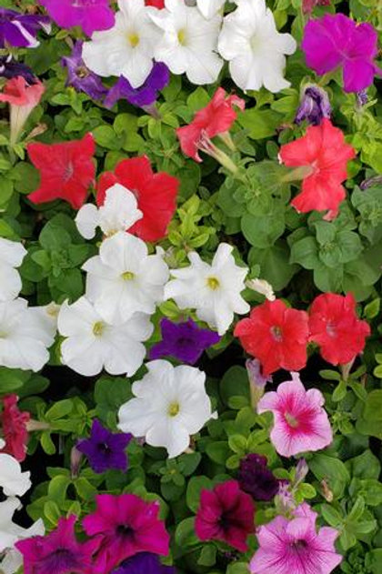 PETUNIA TRITUNIA MIX FLAT 32 PLANTS